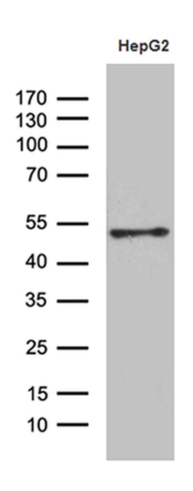HOXA3 Antibody in Western Blot (WB)