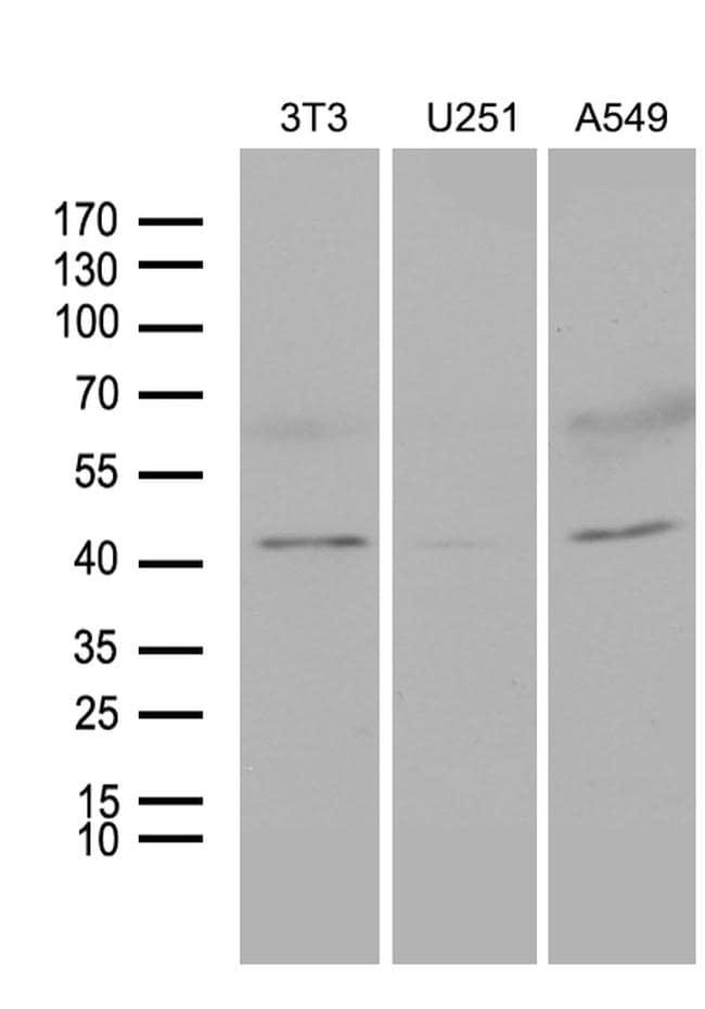 HOXC4 Antibody in Western Blot (WB)