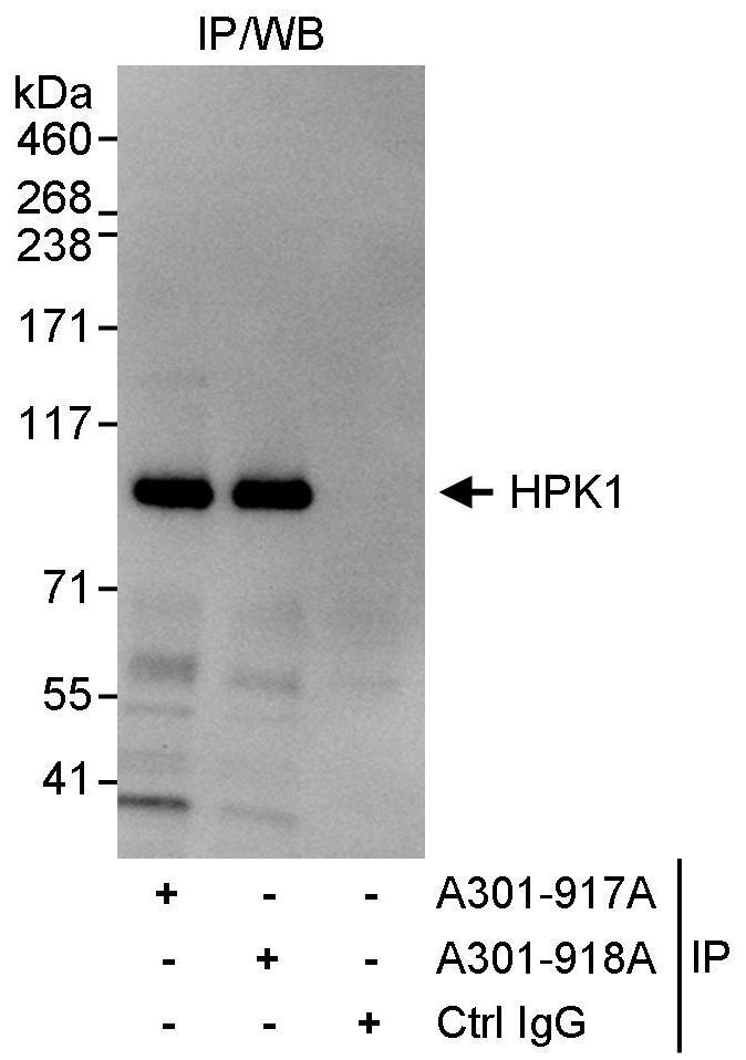 HPK1 Antibody in Immunoprecipitation (IP)