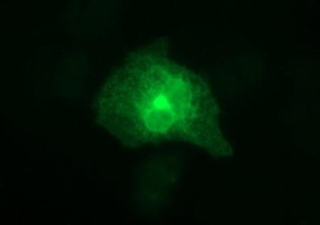 HPRT1 Antibody in Immunofluorescence (IF)