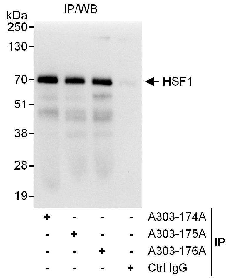 HSF1 Antibody in Immunoprecipitation (IP)