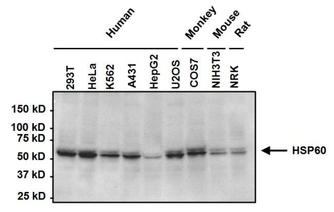 HSP60 Antibody in Western Blot (WB)