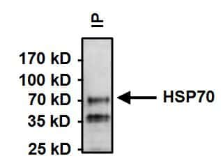 HSC70 Antibody in Immunoprecipitation (IP)