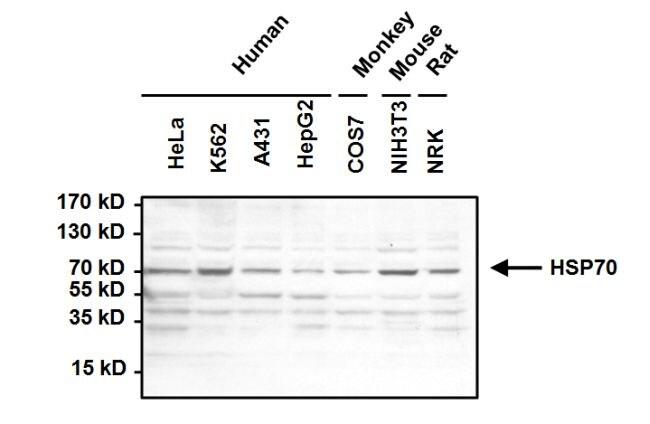 HSC70 Antibody in Western Blot (WB)