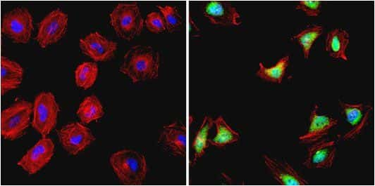 HSP90 alpha Antibody in Immunofluorescence (IF)