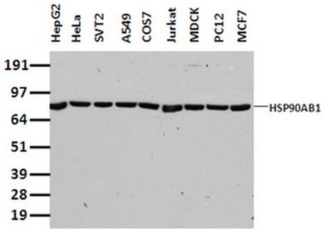 HSP90AB1 (HSP90) Antibody in Western Blot (WB)