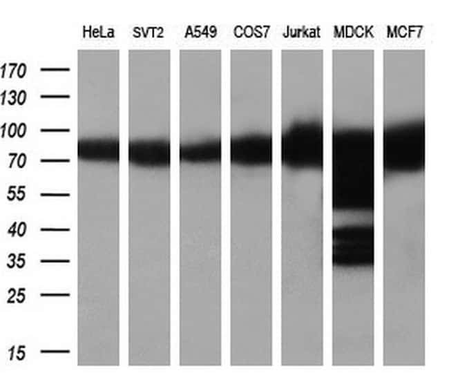 HSP90AA1 Antibody in Western Blot (WB)