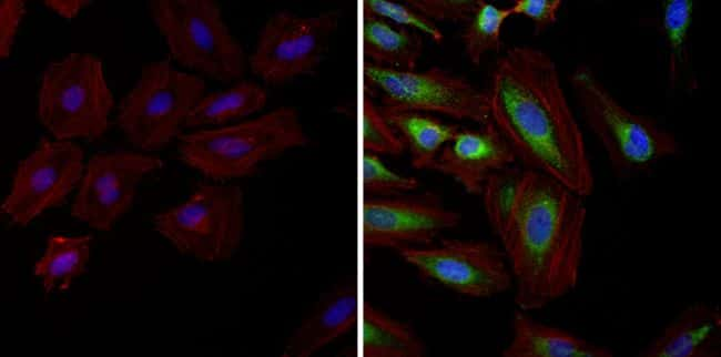 HSP90 alpha Antibody in Immunofluorescence (IF)
