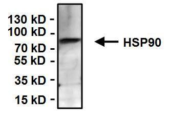 HSP90 alpha Antibody in Immunoprecipitation (IP)