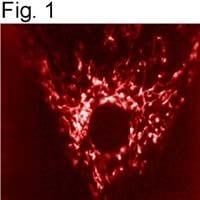 mtHSP70 Antibody in Immunofluorescence (IF)
