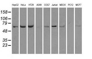 HSPA1A Antibody in Western Blot (WB)