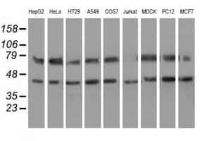 HSPA6 Antibody in Western Blot (WB)