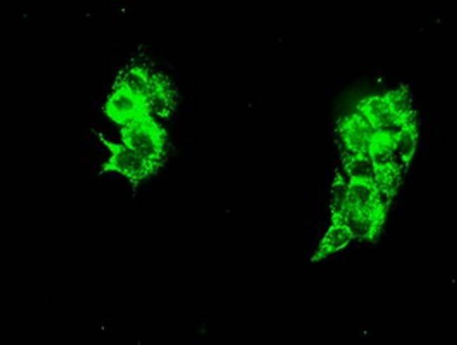 HSPA9 Antibody in Immunofluorescence (IF)
