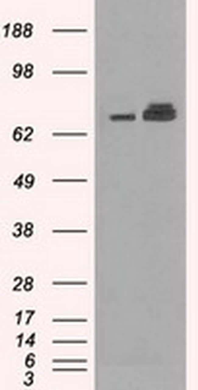 HSPA9 Antibody in Western Blot (WB)