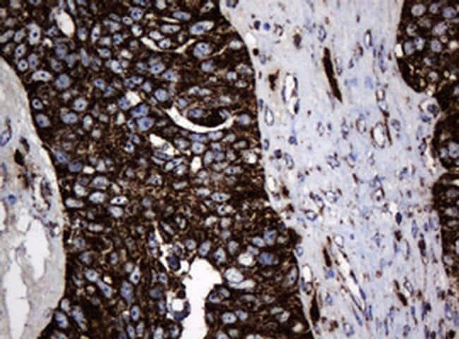 Hsp60 (HSPD1) Antibody in Immunohistochemistry (Paraffin) (IHC (P))