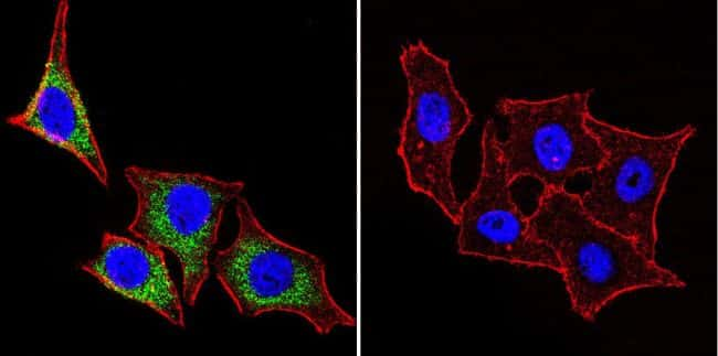 HSP27 Antibody in Immunofluorescence (IF)