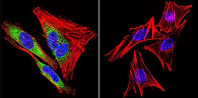 HSP90 beta Antibody in Immunofluorescence (IF)