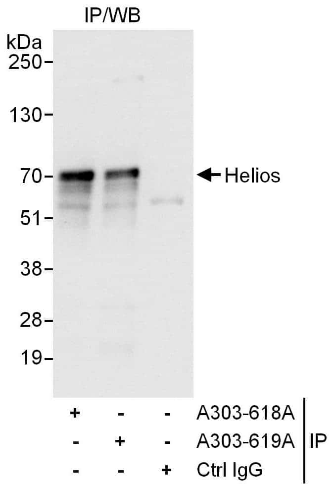 Helios Antibody in Immunoprecipitation (IP)