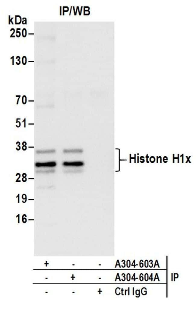 Histone H1x Antibody in Immunoprecipitation (IP)