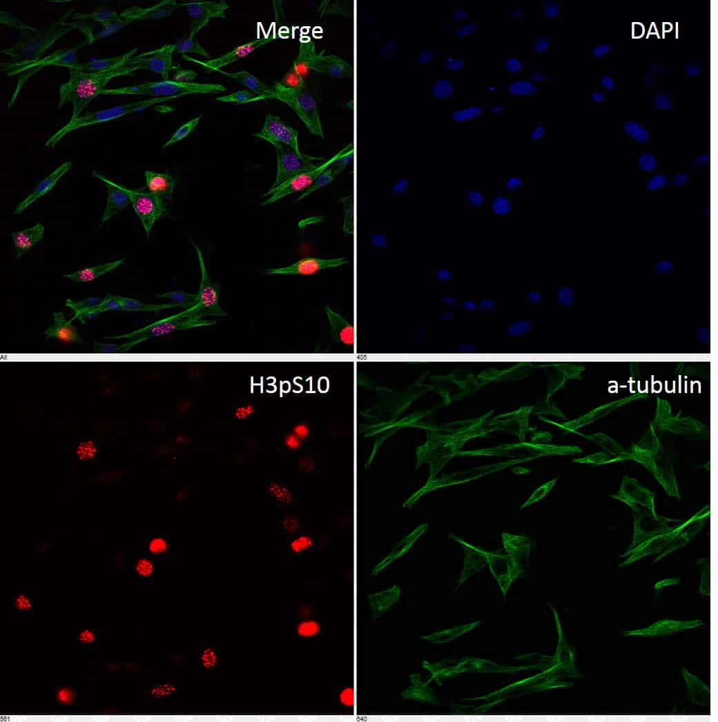 Phospho-Histone H3 (Ser10) Antibody in Immunofluorescence (IF)