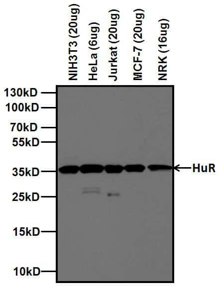 HuR Antibody in Western Blot (WB)
