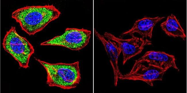 ATP4B Antibody in Immunofluorescence (IF)