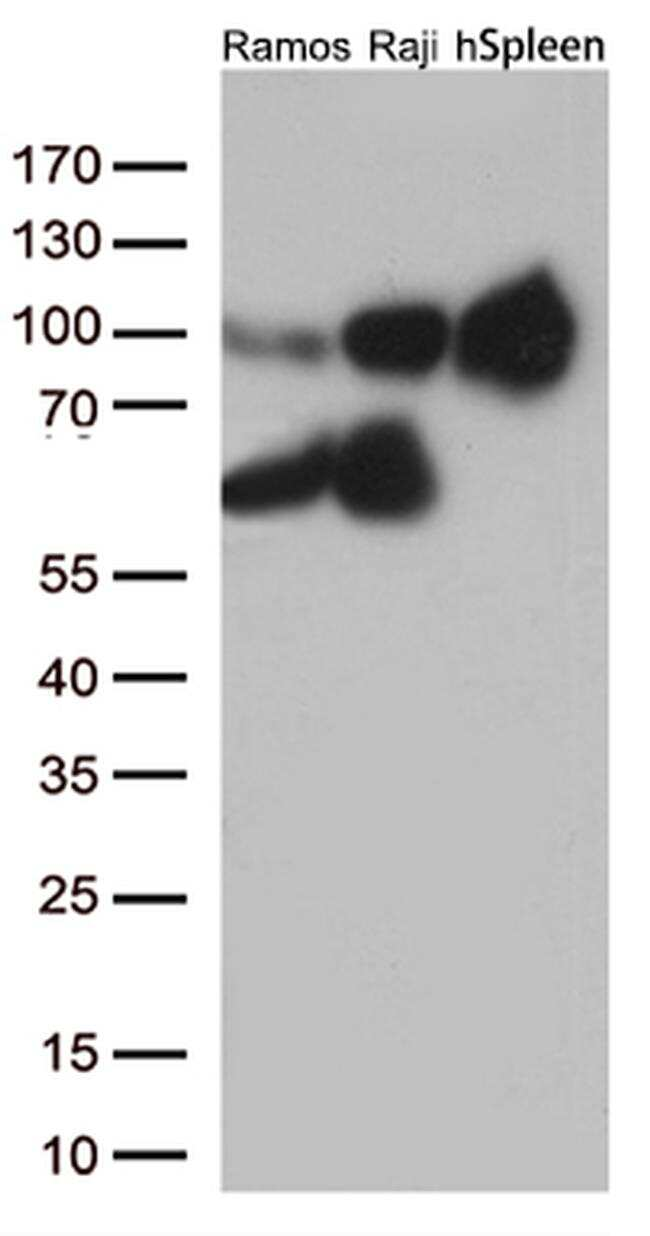 ICAM1 Antibody in Western Blot (WB)