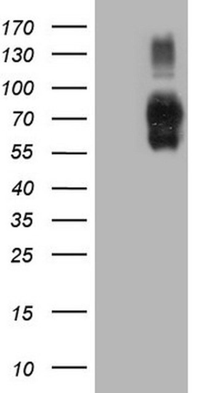 ICOSLG Antibody in Western Blot (WB)