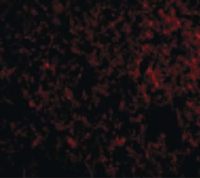 IEX-1 Antibody in Immunofluorescence (IF)