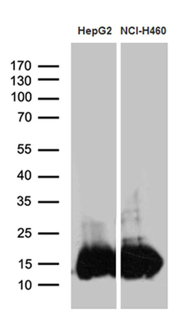 IFITM2 Antibody in Western Blot (WB)