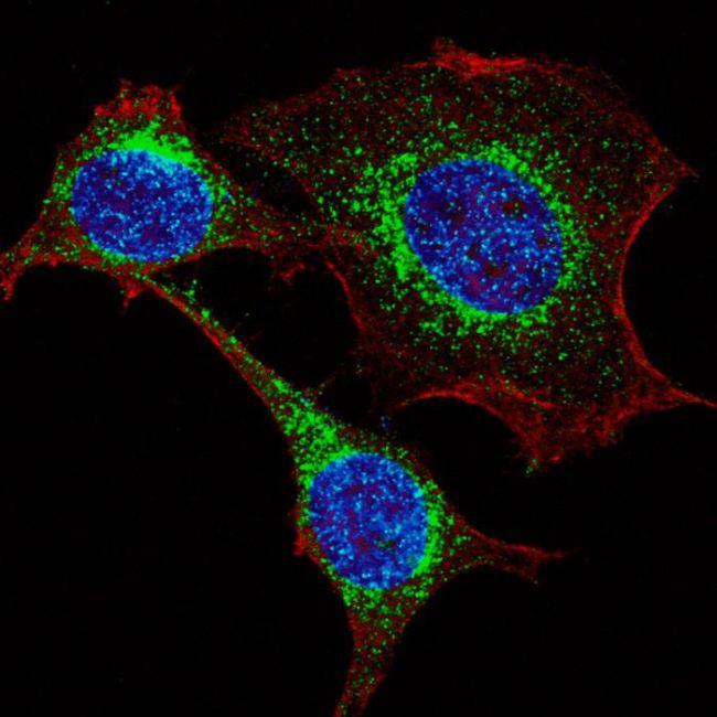 IFITM3 Antibody in Immunocytochemistry (ICC/IF)