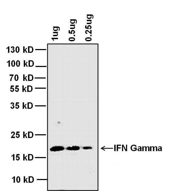 IFN gamma Antibody in Western Blot (WB)
