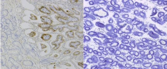 IFN epsilon Antibody in Immunohistochemistry (IHC)