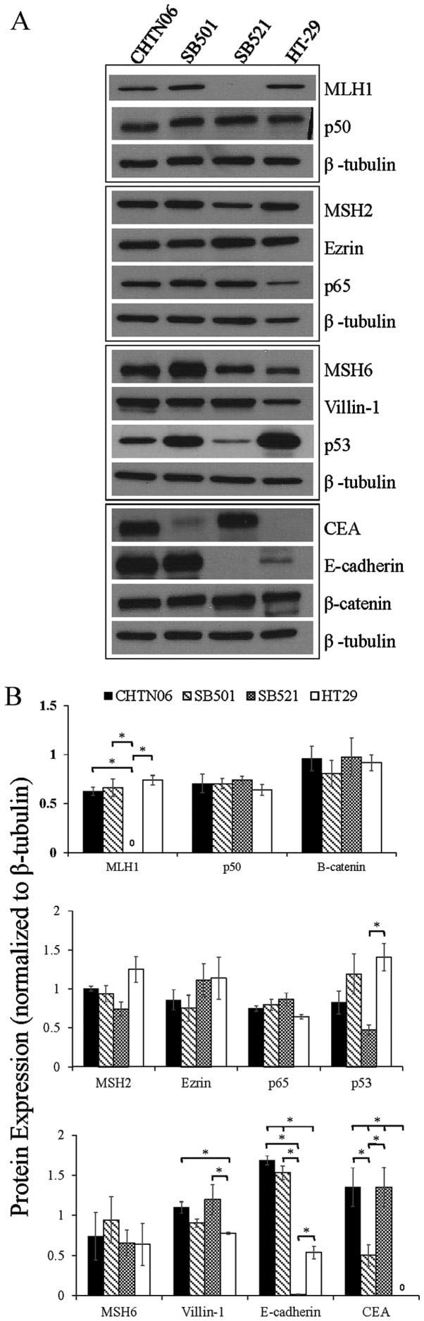 NFkB p65 Antibody