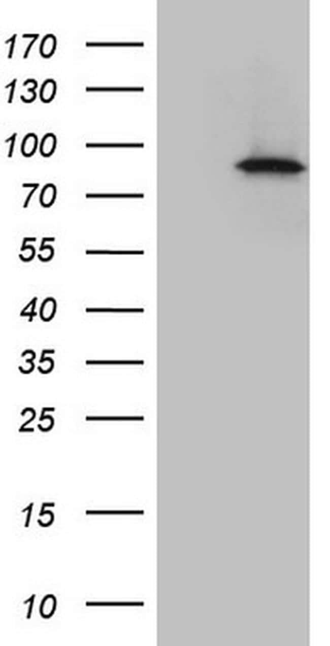 IKBKE Antibody in Western Blot (WB)
