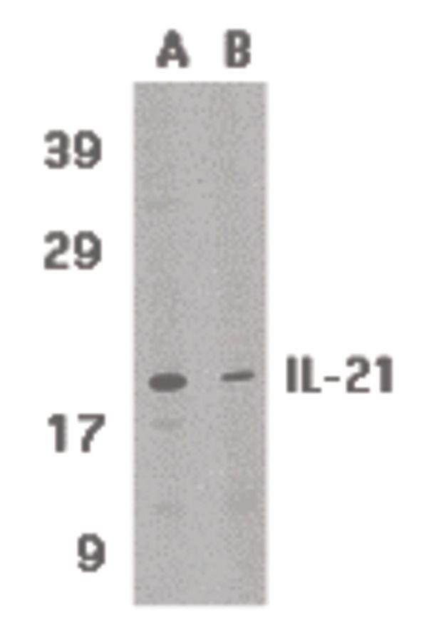 IL-21 Antibody in Western Blot (WB)