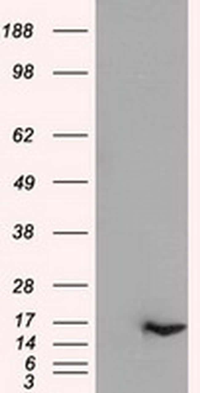IL-3 Antibody in Western Blot (WB)