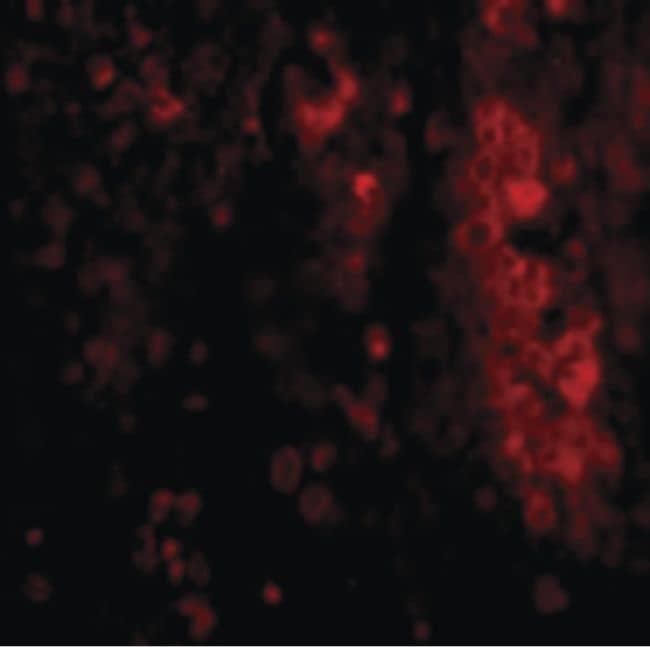 IL-33 Antibody in Immunofluorescence (IF)