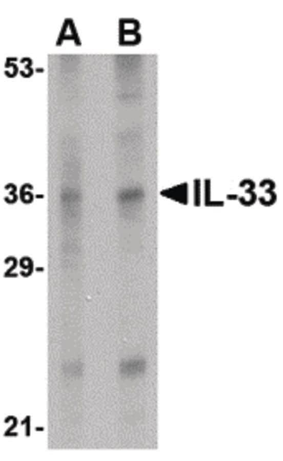 IL-33 Antibody in Western Blot (WB)