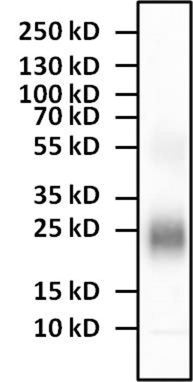 IL-4 Antibody in Western Blot (WB)