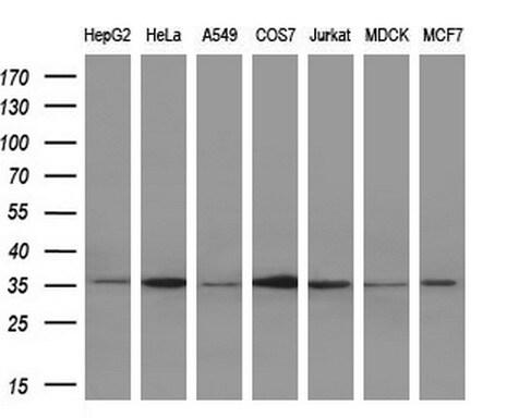 IL1A Antibody in Western Blot (WB)