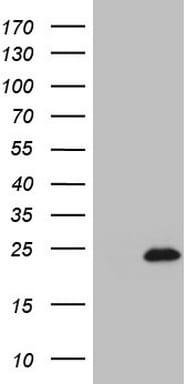 IL20 Antibody in Western Blot (WB)