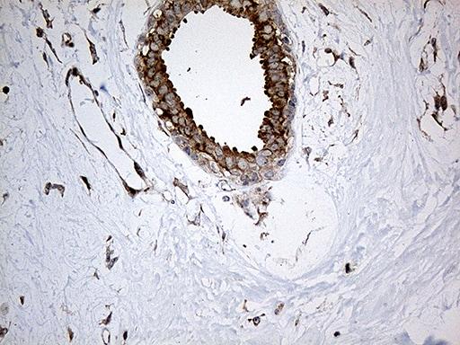 IL34 Antibody in Immunohistochemistry (Paraffin) (IHC (P))