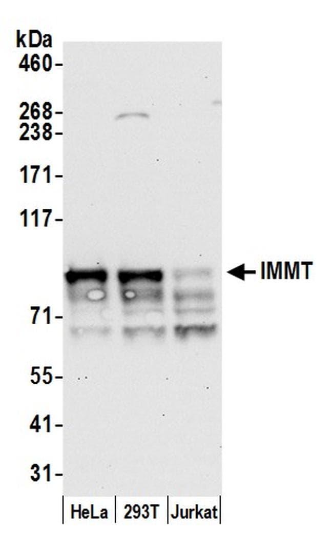 IMMT/Mitofilin Antibody in Western Blot (WB)