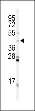 INHA Antibody in Western Blot (WB)