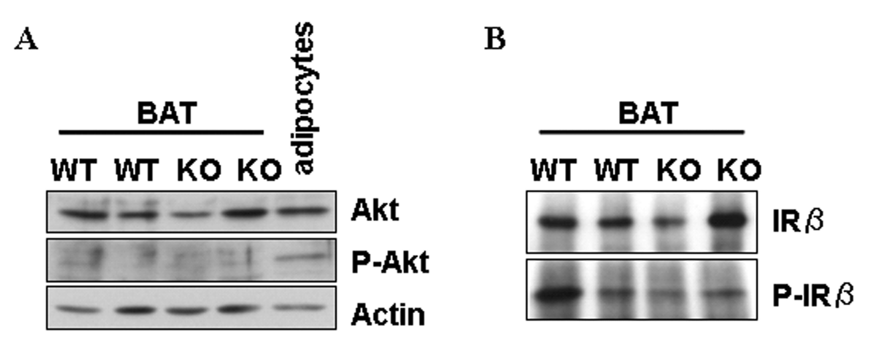 Phospho-INSR (Tyr972) Antibody