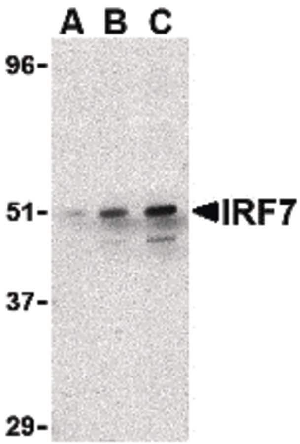 IRF7 Antibody in Western Blot (WB)