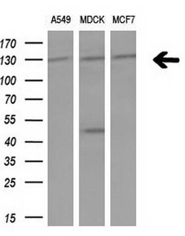 IRS1 Antibody in Western Blot (WB)