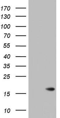 ISCU Antibody in Western Blot (WB)