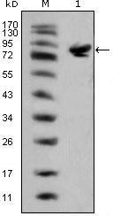 ISL1 Antibody in Western Blot (WB)